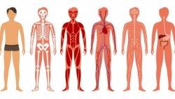 Bilim insanları, insan vücudunun Google Haritalar sürümünü hazırlamaya çalışıyor